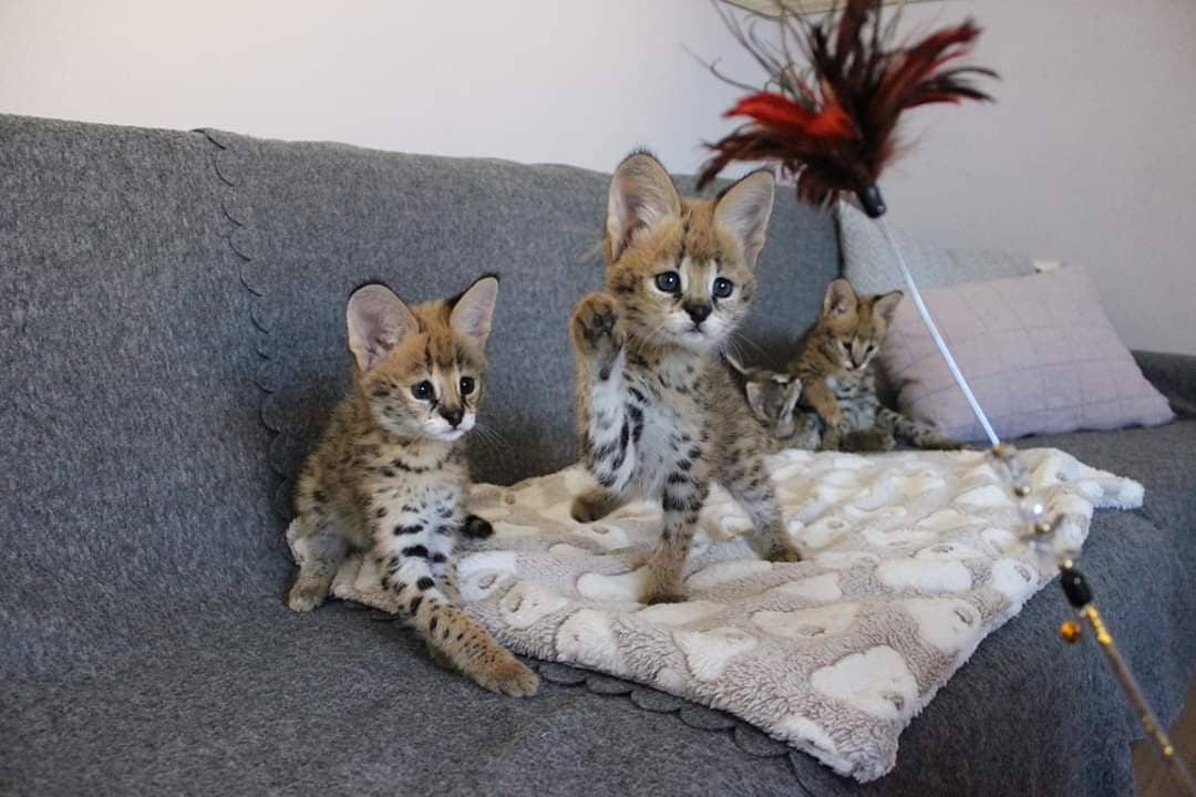 Hi ha disponibles gatets de sabana i servals