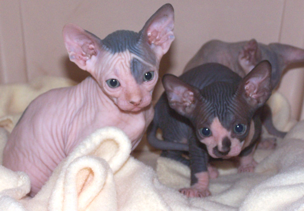 Gatos Sphynx disponibles para la venta